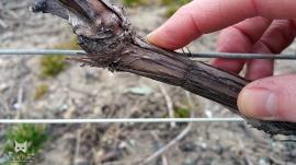 Juste après la taille, le liage consiste à fixer charpentes et bois à fruits à un fil de fer tendu, pour son maintien.